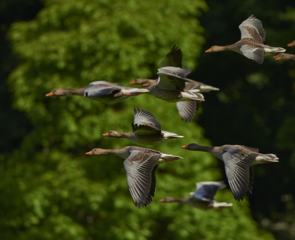 flock-of-birds-canada-geese-geese-wing-55832