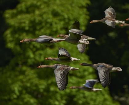 flock-of-birds-canada-geese-geese-wing-55832